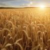 champs de soya au coucher du soleil