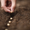 grains de soya mis en terre